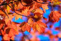 Autumn Foliage em uma árvore de bordo vermelho Fotos de Stock Royalty Free