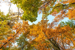 Autumn foliage in the forest Royalty Free Stock Image