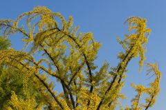 Autumn Foliage - GinkgoBiloba träd Royaltyfri Fotografi