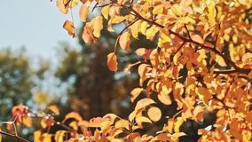 Autumn foliage golden trees sunny day leaves sway. Autumn foliage. Golden trees. Sunny day. Leaves sway in wind stock footage