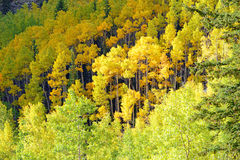 Autumn Foliage with Golden Yellow Aspen Stock Images