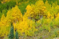 Autumn Foliage with Golden Yellow Aspen Stock Photo