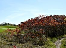 Autumn foliage at the golf course. Closeup of a bush in Autumn colors with the greens of a golf course in the background Stock Images