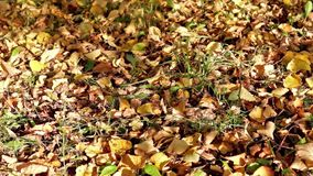 Autumn foliage on the grass and shades of leaves in breeze stock video