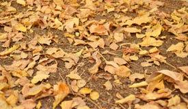 Autumn Foliage - hojas en caída en la tierra - fondo natural Imagen de archivo libre de regalías