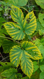 Autumn foliage hop closeup Royalty Free Stock Images