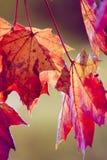 Autumn foliage II. Beautiful maple foliage in autumn Royalty Free Stock Image