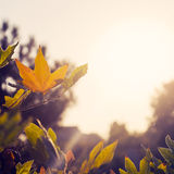 Autumn foliage illuminated by sunlight Stock Photos