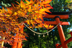 Autumn foliage of Japanese maple leaves with crimson Torii gate Stock Image