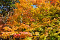 Autumn foliage in Korankei, Aichi, Japan Royalty Free Stock Photos