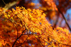Autumn foliage in Korankei, Aichi, Japan Royalty Free Stock Photo