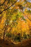Autumn foliage in Korankei, Aichi, Japan Royalty Free Stock Image