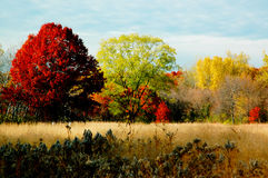 Autumn Foliage: Large Trees. Royalty Free Stock Image