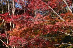 Autumn foliage Royalty Free Stock Photo