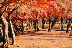 Autumn foliage leaves in Nara park Royalty Free Stock Images