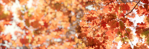 Autumn foliage, leaves on tree lit by sunlight beautiful nature in autumn Stock Image