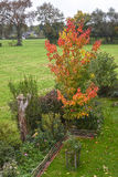 Autumn foliage, little maple tree in garden. Autumn foliage, little maple tree with gloriously colorful leaves in a garden Stock Photography