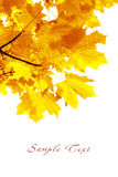 Autumn foliage. Maple. Branch of a maple with bright yellow autumn foliage Stock Photo