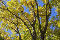 Autumn foliage on a maple tree Stock Photos