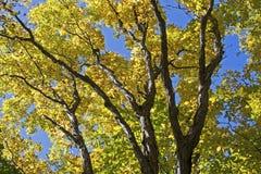 Autumn foliage on a maple tree Stock Photos