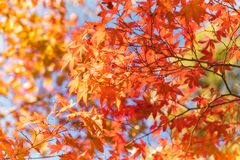 Autumn foliage in a maple tree at Kinkaku-ji Zen garden in Kyoto royalty free stock photography