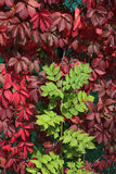 Autumn foliage. Autumn maroon and green foliage, contrast Royalty Free Stock Photos