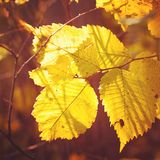 Autumn foliage. Natural background Royalty Free Stock Images