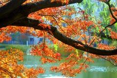 Autumn foliage in Nishinomiya Royalty Free Stock Photography