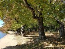 Washington DC cherry trees in autumn Royalty Free Stock Image