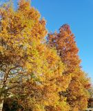 Yellow pine trees in autumn Royalty Free Stock Images