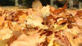 Autumn foliage in the park alley. The wind drives dry autumn leaves fallen to the ground stock video footage