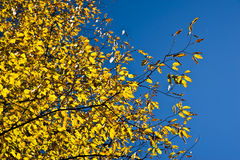 Autumn foliage. Photo of a yellow autumn foliage stock photos