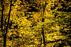 Autumn foliage. Photo of a yellow autumn foliage royalty free stock photos