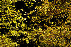 Autumn foliage. Photo of a yellow autumn foliage stock images