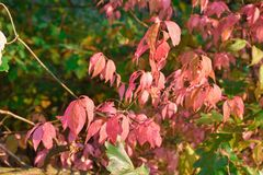 Autumn foliage, pink leaves, autumn pink leaves royalty free stock photo