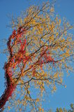 Autumn foliage: red ivy on yellow tree leaves. Foliage, autumn, colors, blue, sky, red, ivy, tree, trunk, yellow, leaves Stock Photo