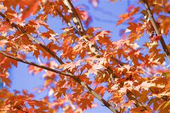 Autumn foliage. Red leaves in autumn - autumn foliage Royalty Free Stock Images