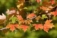 Autumn foliage. Red leaves in autumn - autumn foliage royalty free stock photo