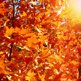 Autumn Foliage. Red Leaves on the Trees Stock Photos