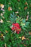 Autumn foliage and rowanberries background. Bunch of red ashberry on the green grass Stock Images