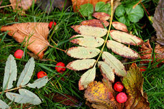 Autumn foliage and rowanberries with raindrop. Coloured variety in autumn Stock Photography