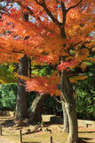 Autumn foliage in the Sankeien Garden, Yokohama, Kanagawa, Japan. Sankeien is a spacious Japanese style garden in southern Yokohama which exhibits a number of Royalty Free Stock Photography