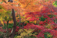 Autumn foliage in the Sankeien Garden, Yokohama, Kanagawa, Japan. Sankeien is a spacious Japanese style garden in southern Yokohama which exhibits a number of Stock Photography