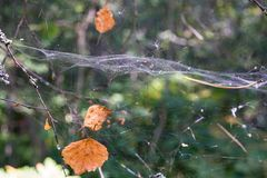 Autumn foliage and spiderweb hang in wild wood Stock Photos