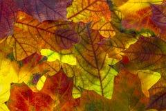 Autumn foliage. An autumn foliage textured background Stock Images