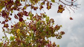 Autumn foliage tree and clouds moving timelapse. Autumn foliage tree move with the wind on cloud background, timelapse stock footage