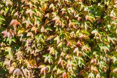 Autumn foliage on wall - background theme. Typical scene in Northern Europe Royalty Free Stock Photo
