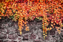 Autumn foliage of wild grape on stone wall or fence, outdoor nature background Stock Image