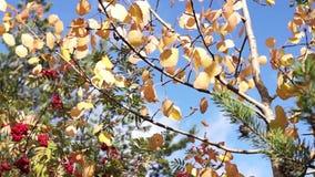 Autumn foliage in wind stock video