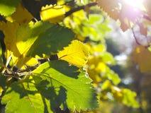 Yellow leaves. Stock Photo